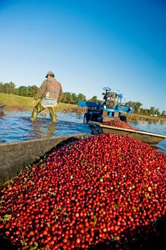 Harvest at the Wetherby Cranberry Company.