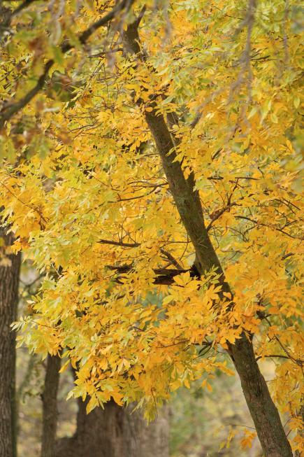 Green Ash Fast Growing Shade Tree