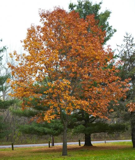 Northern Red Oak The Fastest Growing