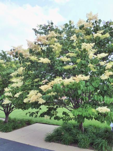 Anese Tree Lilac