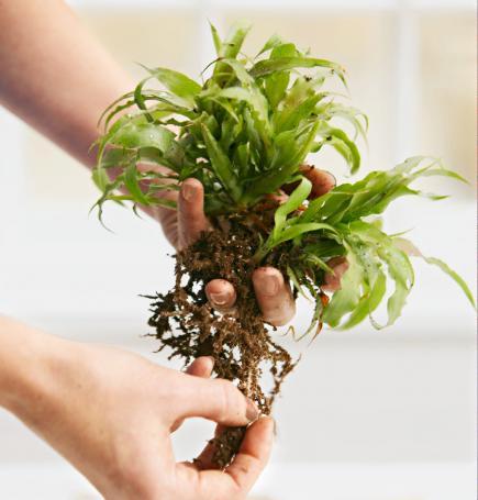 String plant prep