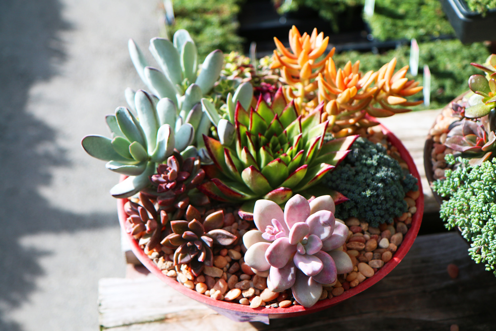 In The Midwest They Can Be Enjoyed Year Round Displays You From A Garden Nursery Or Create Yourself Succulent Advantages